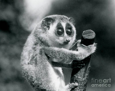 Cute. Sweet Photograph - A Slender Loris Holding On To The End Of A Branch by Frederick William Bond