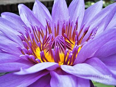 Photograph - A Sliken Purple Water Lily by Chad and Stacey Hall