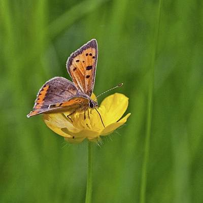 Photograph - A Small Copper Butterfly (lycaena by John Edwards