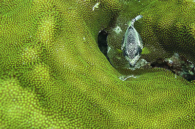 Trunkfish Wall Art - Photograph - A Smooth Trunkfish In Green Coral - Bonaire, Dutch Caribbean by Ellie Teramoto