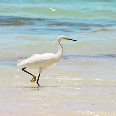 Wall Art - Photograph - A Snowy Egret (egretta Thula) At Mahoe by John Edwards