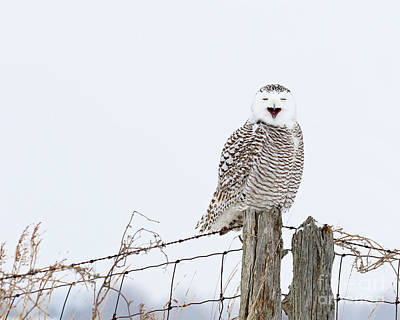 Photograph - A Snowy Owl And A Fox Walk Into A Bar by Heather King
