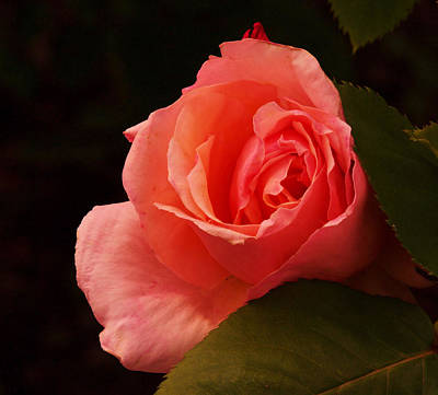 A Soft Rose  Art Print by Jeff Swan