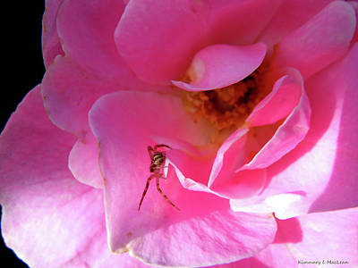 Photograph - A Spider And A Rose by Kimmary MacLean