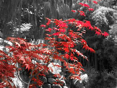 Chinese Red Maple Tree Photograph - A Splash Of Red by Bob Lewis