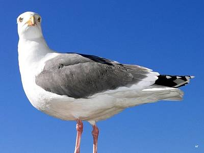 Photograph - A Splendid Seagull by Will Borden