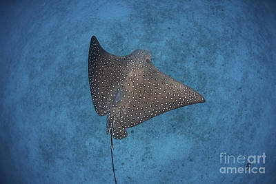 Spotted Eagle Ray Photograph - A Spotted Eagle Ray Swims by Ethan Daniels
