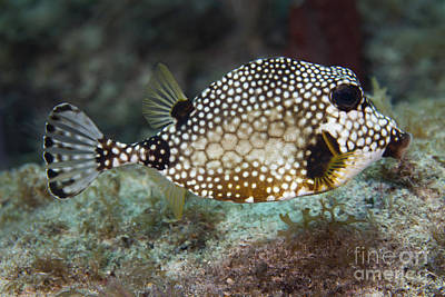 Caudal Photograph - A Spotted Trunkfish, Key Largo, Florida by Terry Moore