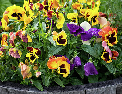 Photograph - A Spread Of Pansies by John Brink