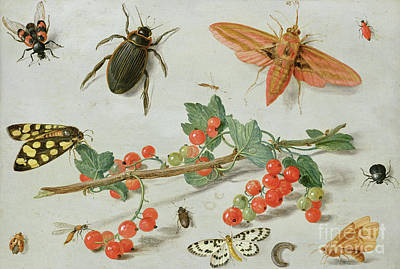 Seventeenth Century Painting - A Sprig Of Redcurrants With An Elephant Hawk Moth, A Magpie Moth And Other Insects, 1657 by Jan Van Kessel