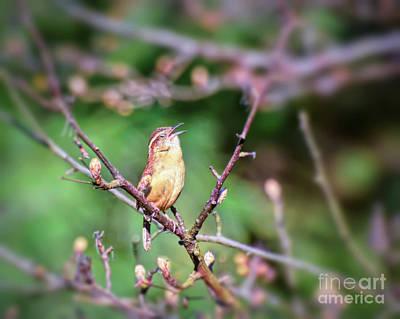 Photograph - A Spring Song By Carolina Wren by Kerri Farley