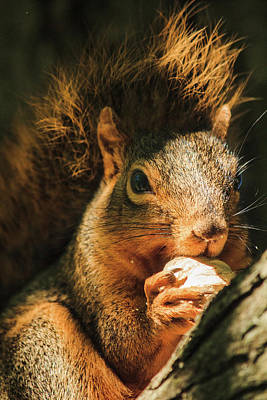 Photograph - A Squirrel And His Nut by Joni Eskridge