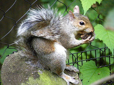 Ebsq Digital Wall Art - Photograph - A Squirrelly Portrait by Kimmary MacLean