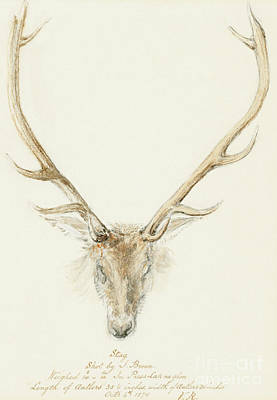 Trophy Buck Drawing - A Stag Shot By John Brown by Queen Victoria