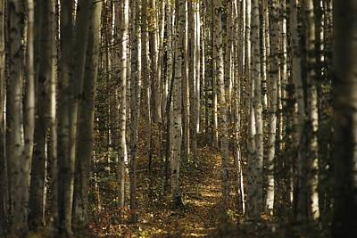 A Stand Of Birch Trees Show Print by Raymond Gehman