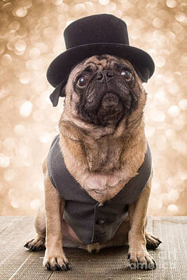 Pug Wall Art - Photograph - A Star Is Born - Dog Groom by Edward Fielding