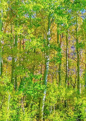 Photograph - A Strand Of Aspens by Nancy Marie Ricketts