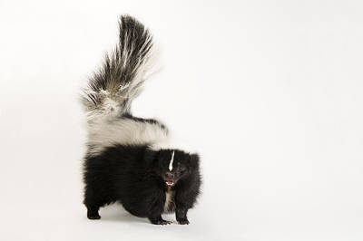 A Striped Skunk, Mephitis Mephitis Art Print by Joel Sartore