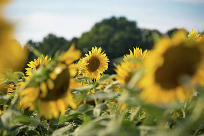 Photograph - A Sunflower Among Many Others by Anthony Doudt