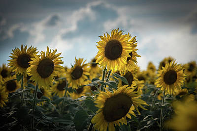 Photograph - A Sunflower Stretching Above The Others by Anthony Doudt