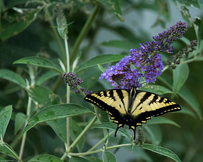 Photograph - A Superb Western Tiger Swallowtail Butterfly by Mick Anderson