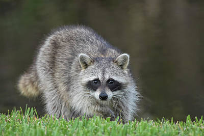 Photograph - A Surprised Raccoon by William Tasker