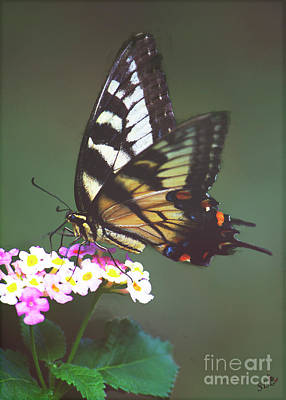 Photograph - A Swallowtail by Sandra Clark
