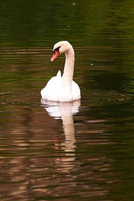 Photograph - A Swan On A Summers Day by Carol Montoya