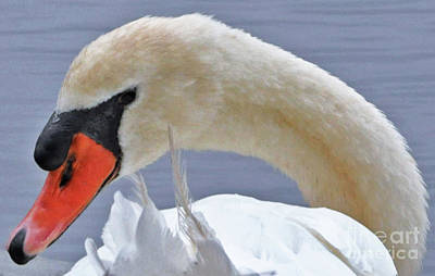 Photograph - A Swan's Look by Lydia Holly