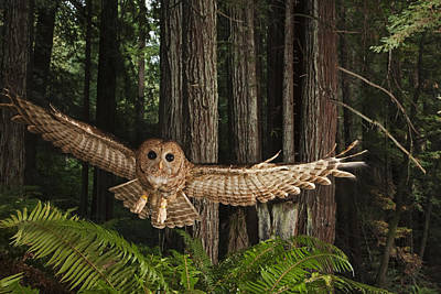 A Tagged Northern Spotted Owl Art Print by Michael Nichols