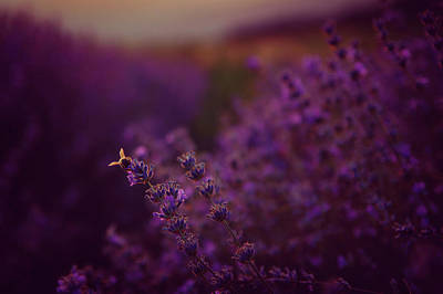 Photograph - A Tale Of Bee, Lavender And Sunset by Plamen Petkov