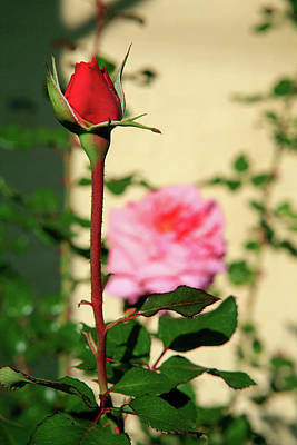 Photograph - A Tale Of Two Roses by Lon Casler Bixby