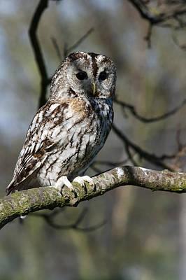 Photograph - A Tawny Owl  by Andy Myatt