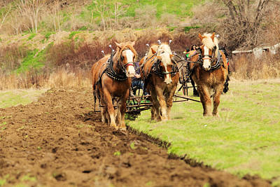 Plow Horse Photograph - A Team Of Horses At Work by Jeff Swan