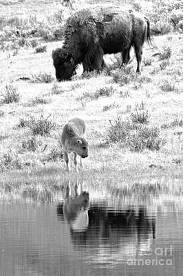 Photograph - A Thirsy Youngster Black And White by Adam Jewell