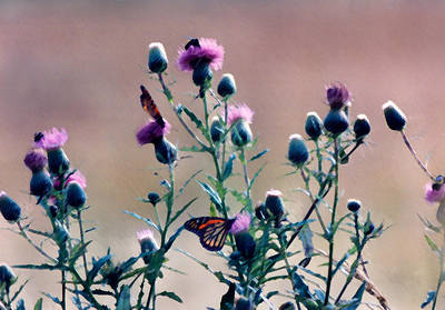 Photograph - A Thistle Community by Steve Karol