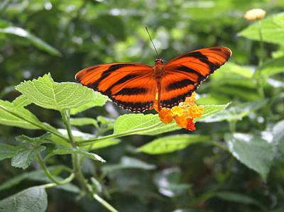 Photograph - A Tiger Amongst The Petals by David Dunham