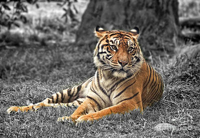 Jim Fitzpatrick Digital Art - A Tiger Relaxing On A Cool Afternoon II by Jim Fitzpatrick