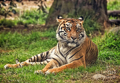 Photograph - A Tiger Relaxing On A Cool Afternoon by Jim Fitzpatrick