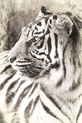 Aggressive Mixed Media - A Tigers Sketch 2 by Clare Bevan