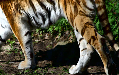 Photograph - A Tigers Stride by Karol Livote