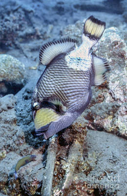 Triggerfish Photograph - A Titan Triggerfish Faces by Michael Wood