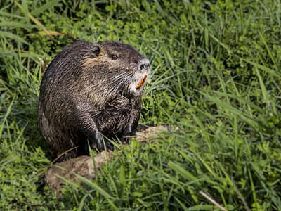 Photograph - A Toothy Nutria by Jean Noren