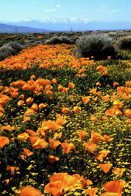 Photograph - A Trail Of Poppies Wc by Gary Brandes