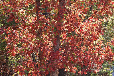 Photograph - A Tree Full Of Fall Leaves by Sherry Hallemeier