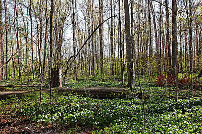 Photograph - A Trillium Carpet by Debbie Oppermann