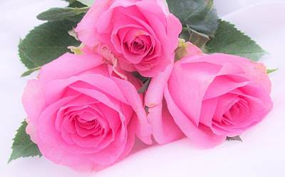 Photograph - A Trinity Of Pink Roses by Sharon Ackley
