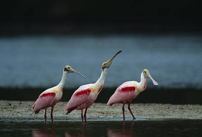 Roseate Spoonbill Photograph - A Trio Of Roseate Spoonbills by Klaus Nigge
