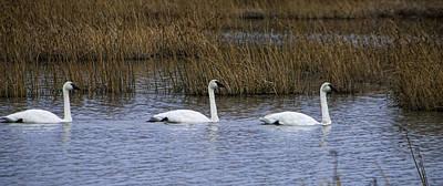 A Trio Of Swans Art Print