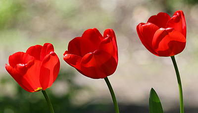 Photograph - A Trio Of Tulips by John Topman